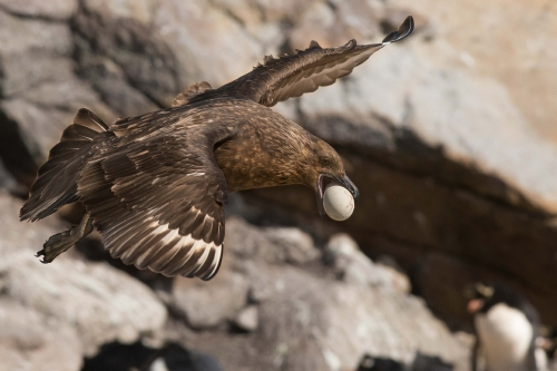 svail skua with rockhopper egg.jpg