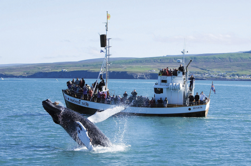 Whale watching Husavik -Humpback blowing.JPG