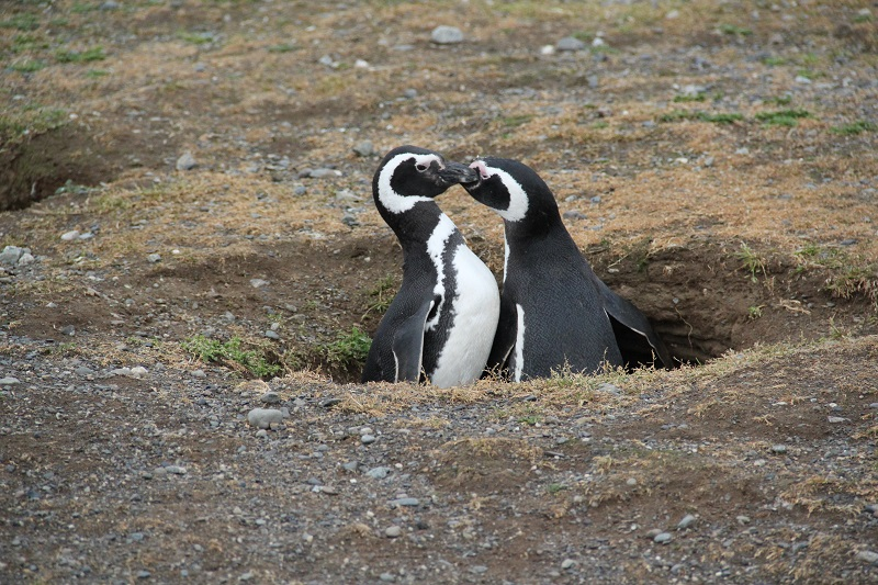 MagellanPenguins1-AG.JPG
