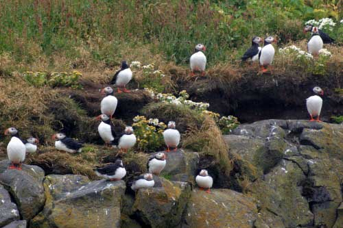56-Puffins-in-South-Iceland.jpg