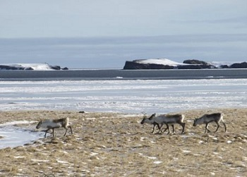 wild-reindeer-south-coast.jpg